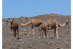 ما هو الحيوان الذي أطلق عليه العرب اسم أم حائل؟