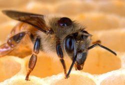 ماذا يطلق على ذكر النحل؟