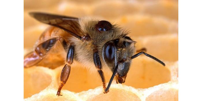 ماذا يطلق على ذكر النحل