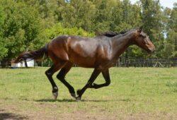 كم تبلغ سرعة الحصان القصوى؟