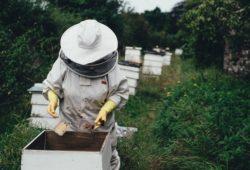 كم تنتج خلية النحل من العسل في السنة؟