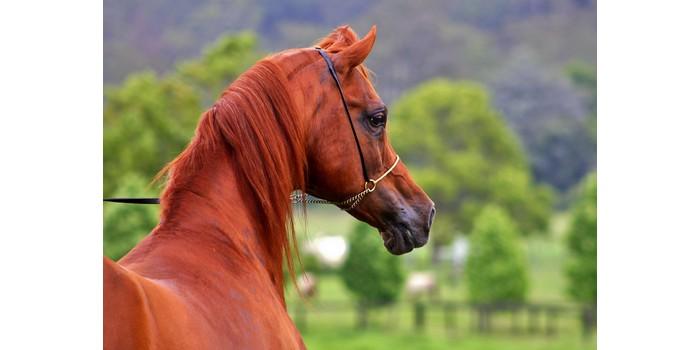 كم سعر الحصان العربي الاصيل سيول Soyoul
