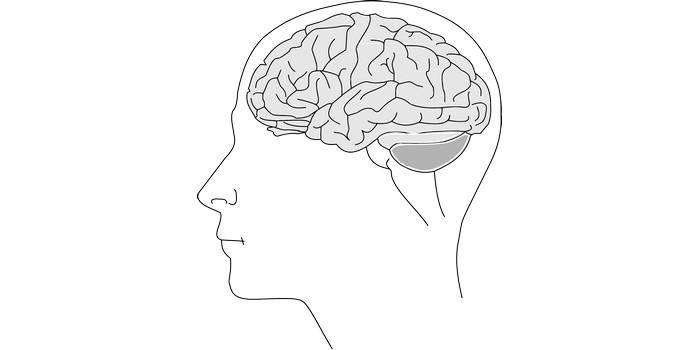 كم يزن مخ الإنسان البالغ