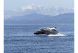 كم يزن مخ الحوت الأزرق؟