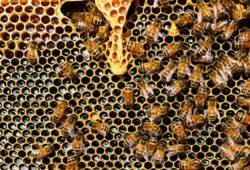 كم يستغرق النحل لإنتاج العسل؟
