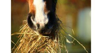 ماذا يأكل الحصان