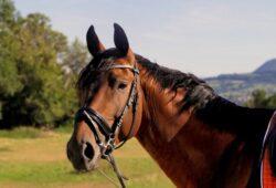 ماذا يغطي جسم الحصان؟