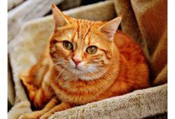 كم تبلغ مدة حمل القطة؟