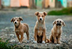 كم تبلغ مدة حمل الكلاب؟