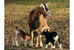 كم تبلغ مدة حمل الماعز؟