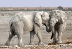 كم تبلغ مدة حمل أنثى الفيل؟