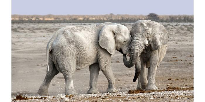 هل الفيل يلد ام يبيض